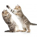 two kittens boxing or playing